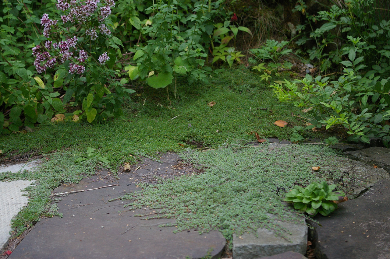 Thyme Is A Drought Tolerant